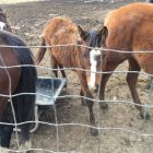 Tulsa County Sheriff's Office Seizes 28 Horses • 16 Dogs • 3 Pigs at Home Near Skiatook