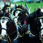 Budweiser Clydesdale's to appear at Cherokee Casino Will Rogers Downs